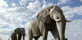 Incroyable, cet éléphant a passé plus de 11 heures à creuser, découvrez pourquoi !